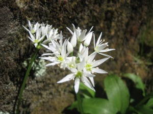 WildGarlic